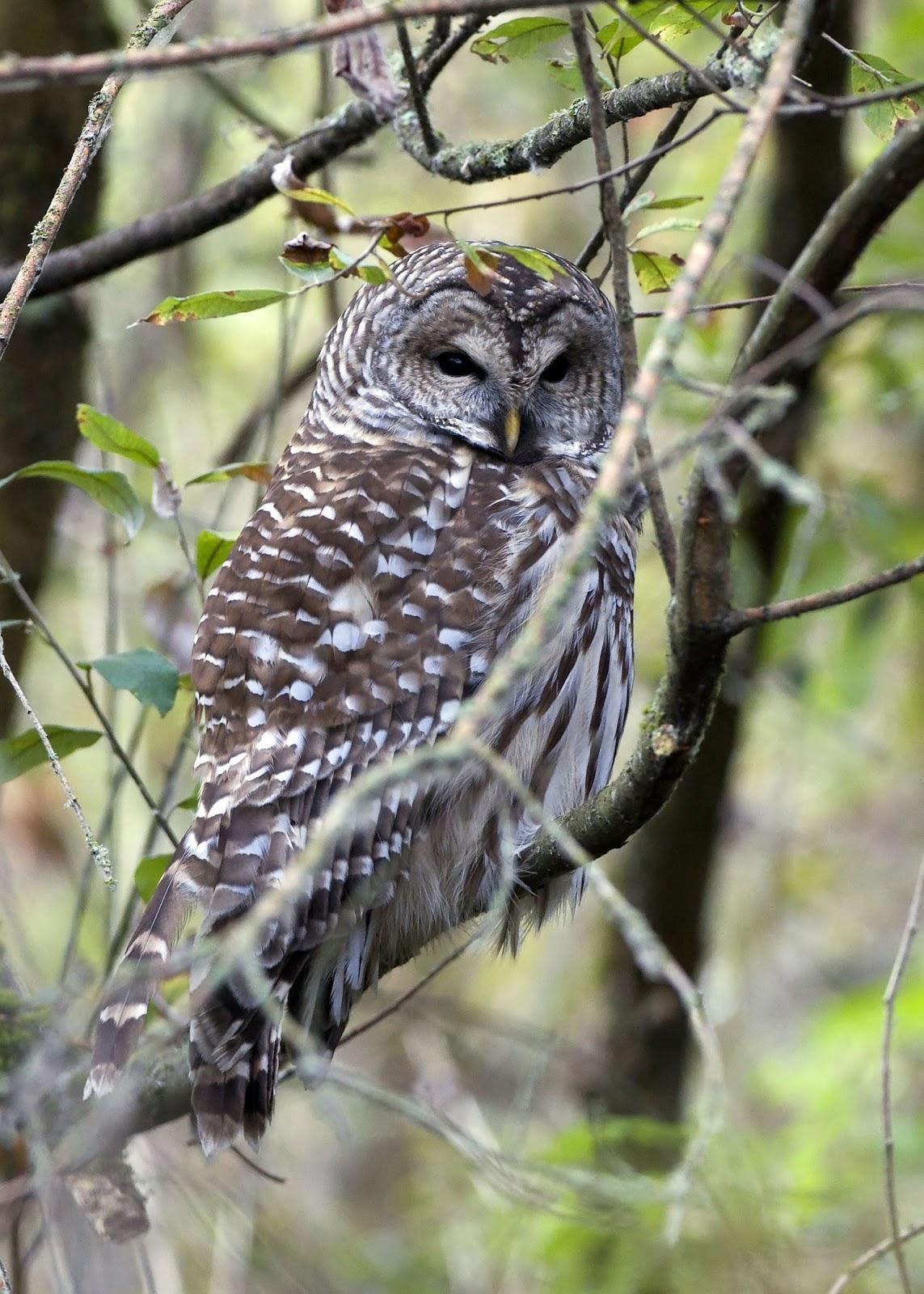 Tree Trunk Protector >> Shoreline Area News: For the Birds: Barred Owl- fierce ...