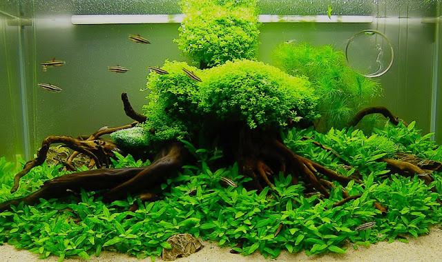Dunia Ikan Hias - Tips Merawat Aquascape Air Tawar