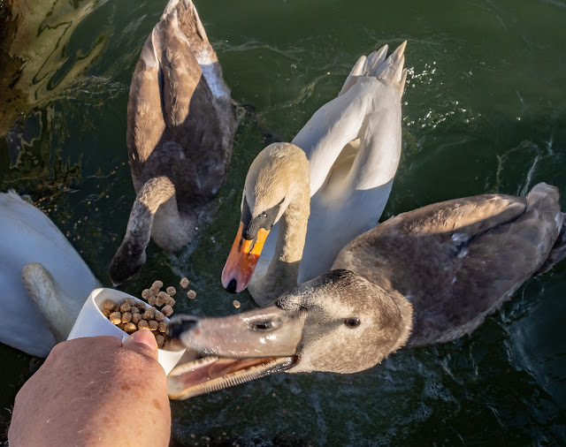 Photo of one of the cygnets pecking at the food beaker