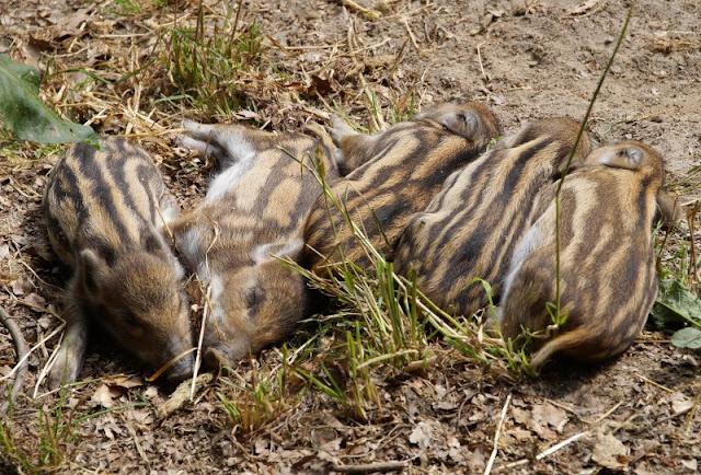 Fünf weitere Ausflugsideen im Schwentinental. Wildschweine und Frischlinge im Wildpark Schwentinental freuen sich über Besuch.