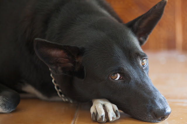 There are risks to using punishment in dog training, even for big dogs like this Shepherd cross