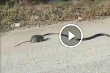Lihat... Video Tikus Ini Malah Kejar & Menyerang Ular, Alasannya Sungguh Mengharukan