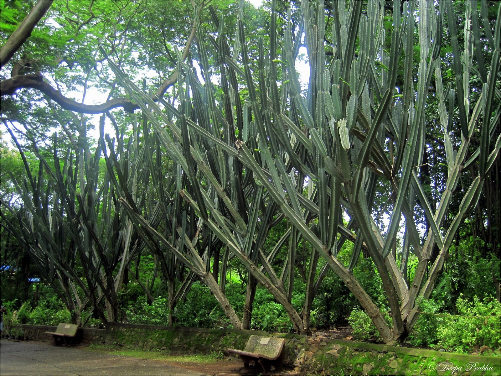 This Weekend We Visited Chota Kashmir Garden I Was Amazed To See Such Huge Cactus Trees Sharing The Photo Captured