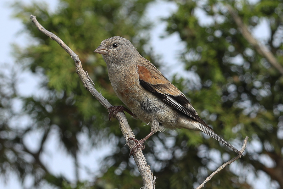 Yemen Linnet - male