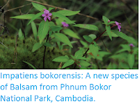 http://sciencythoughts.blogspot.co.uk/2017/02/impatiens-bokorensis-new-species-of.html