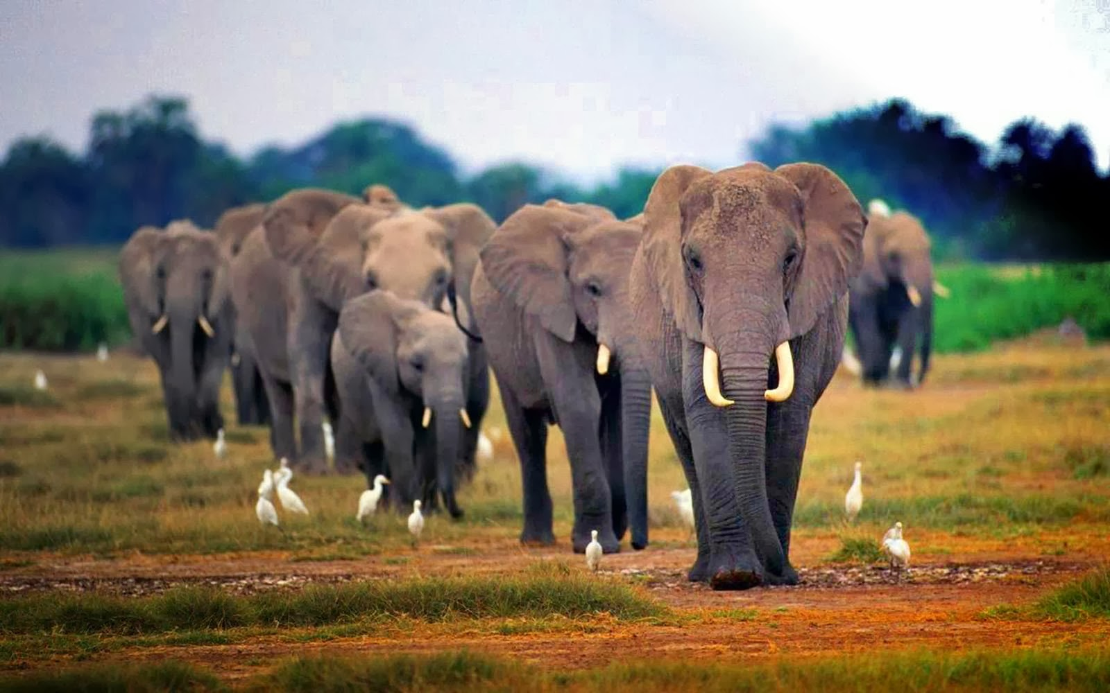 AFRICAN ELEPHANTS HD WALLPAPERS | FREE HD WALLPAPERS