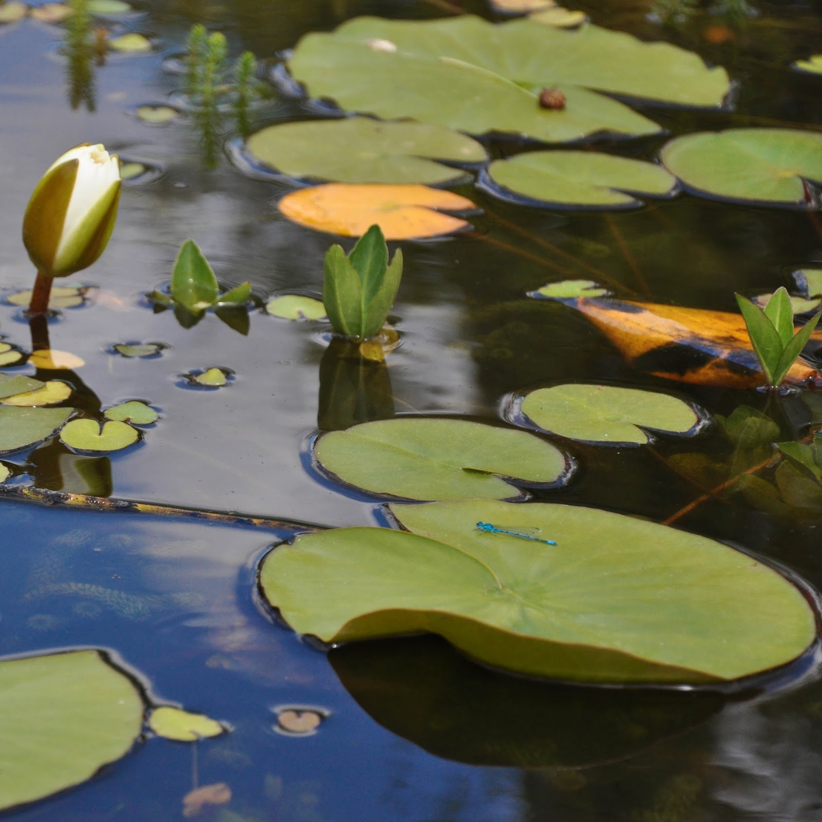 Water lillies, Designer Gardens, The Butterfly World Project, St. Albans, Herts, UK