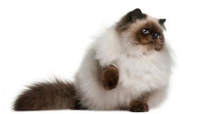 gato-himalayo-cuidados-especiales