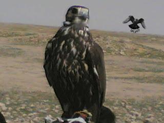 الصقر الحر الأدهم ( سنجاري ) falco cherrug aiticus :