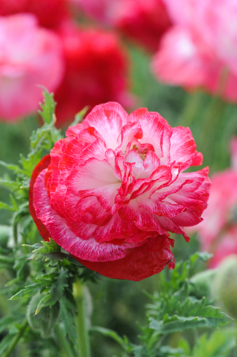 Papaver rhoeas Supreme Mixed (Scotts Miracle Growers)