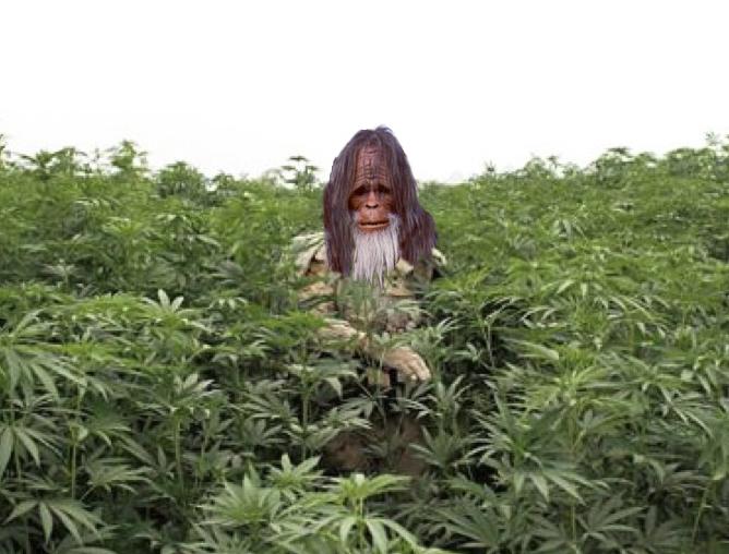 No a las Plantaciones de Marihuanas Ilegales