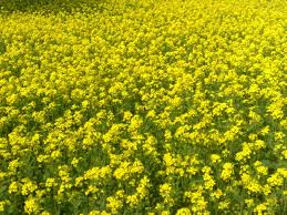The supreme court today asked the centre to apprise it by July 28 about any adverse impact, based on research, of the commercial relercial of genetically modified (GM) mustard crop