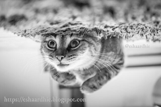 Alasan Ilmiah Mengapa Kucing Belang Tiga Tidak Pernah Berusia Lama
