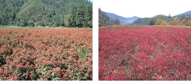 Orange rosehips red rosehips