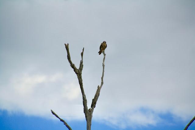Winton Wetlands  Nankeen Kestrel