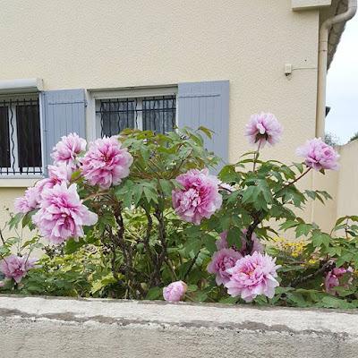 Provence Pivoines Peonies #flowfleurs2016 Printemps Petits bonheurs Pensée positive Count your blessings