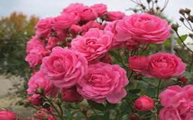 গুরুত্বপূর্ণ ৫ টি বিষয়ে গোলাপের ব্যবহার।The use of rose 5 is important.