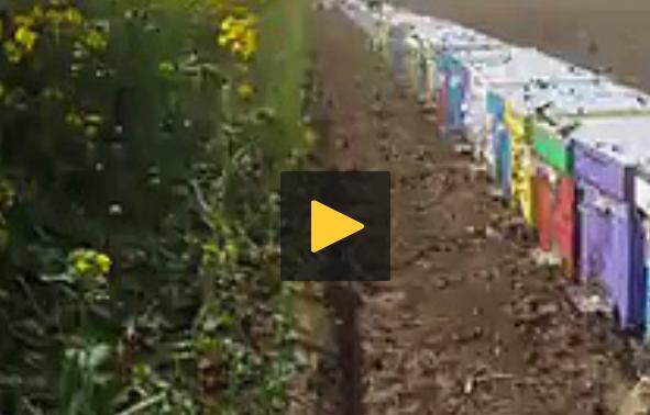 Δουλειά μελισσιών σε τεράστια ανθοφορία: Δείτε πως πετάχτηκαν έξω για να συλλέξουν (video)