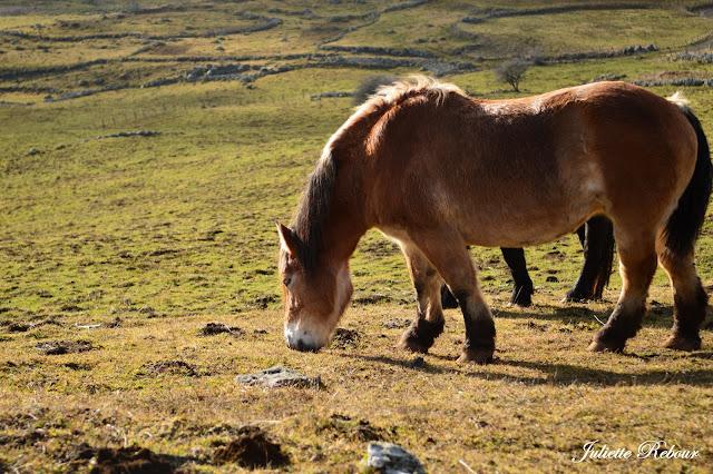 Cheval Auvergnat dans le Cantal