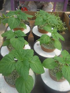 Cara Bertanam Hidroponik Sistem Wick