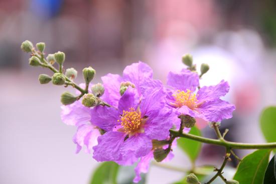 ý nghĩa hoa bằng lăng tím