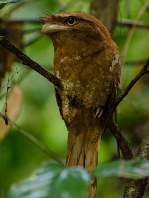 Birds of India - Sri Lanka Frogmouth - Batrachostomus moniliger