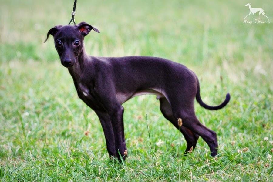 STUPOR MUNDI FCI Italian Greyhound Breeder, Piccolo ...