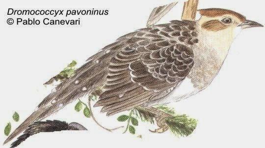 Yasitateré chico: Dromococcyx pavoninus