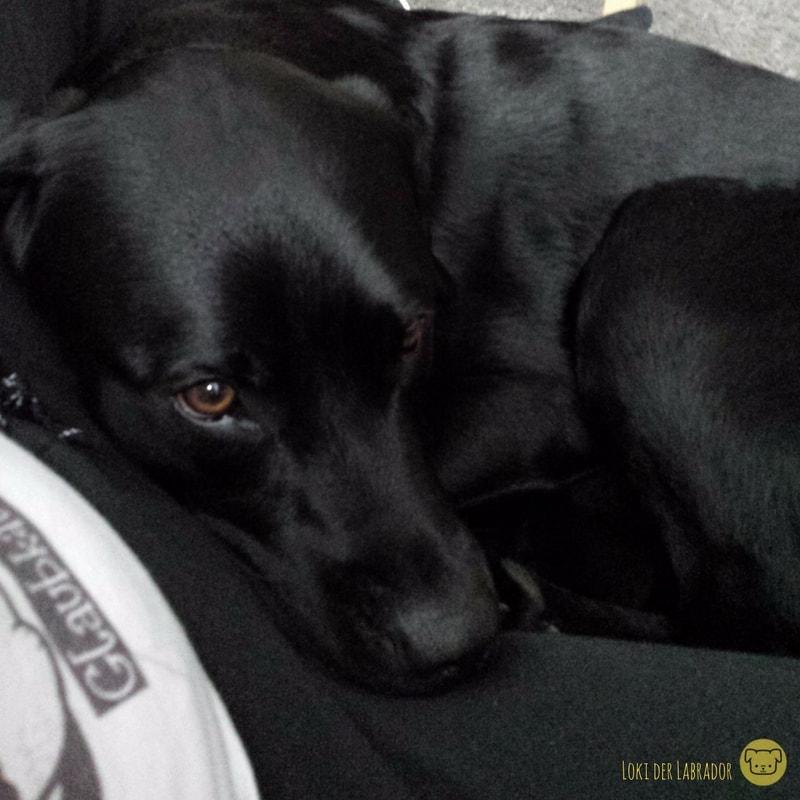 schwarzer Labrador kuschelt auf Schoß