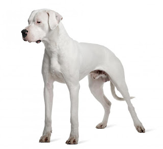 Everything about your Dogo Argentino