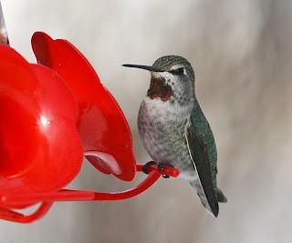 Anna's Hummingbird in Newfoundland