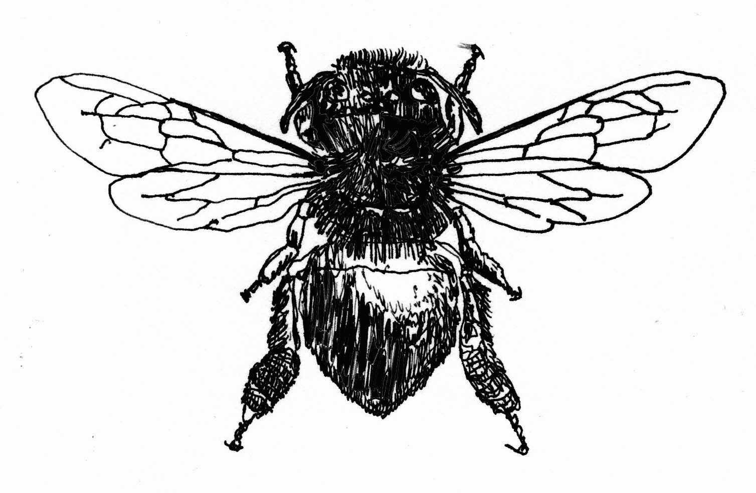 Queen Honey Bee Drawing