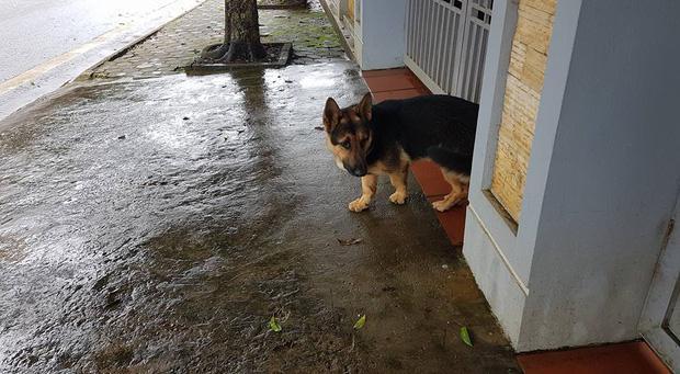 Đáng yêu không chịu được: Chú chó becgie chân ngắn tũn, chẳng biết lai với con gì!