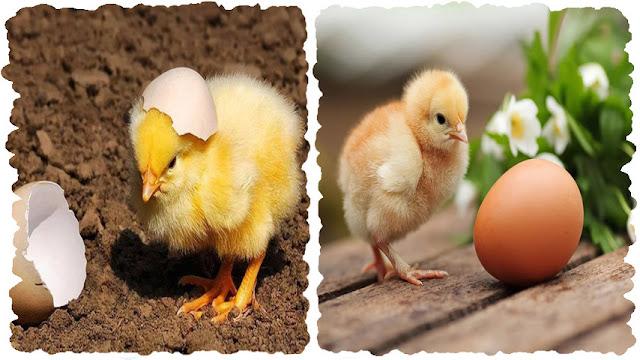 Как проверить Есть ли в яйце цыпленок ?