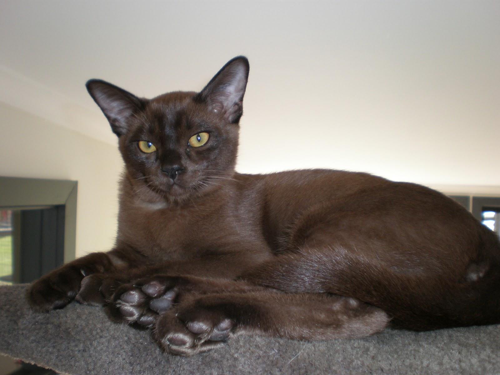 Cooinda Cat Resort - Kitty Kapers: Cat Breeds: Burmese