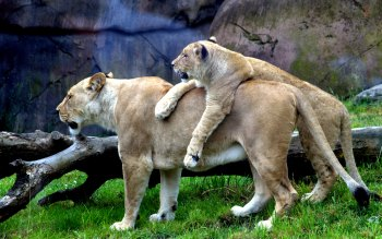 Wallpaper: Lionesses at Oregon Zoo