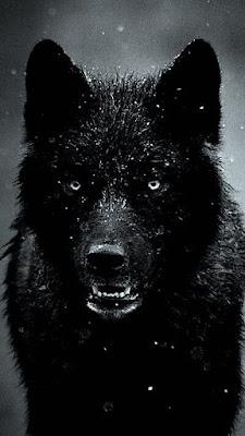 صور ذئاب سوداء