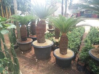 Suplayer pohon sikas