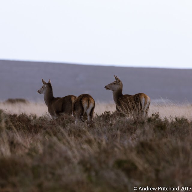 Two deer from a s small group of hinds grazing on the moor are studying soemthing approaching nearby.
