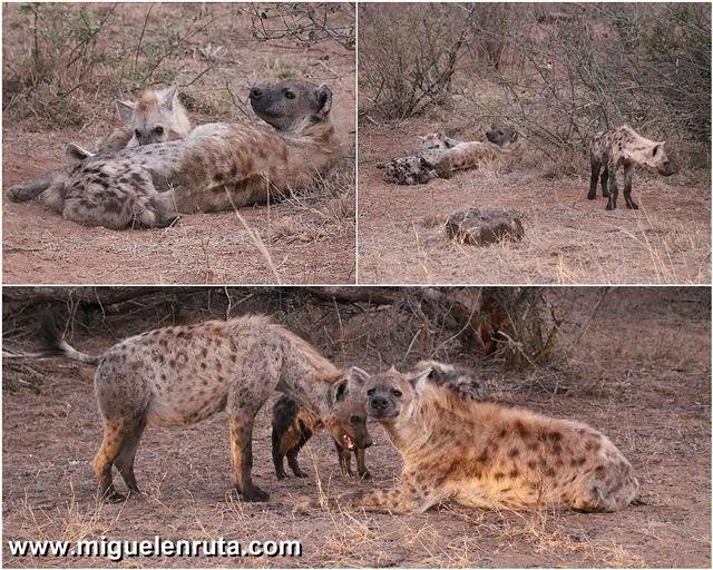 Safari-por-libre-en-Kruger-Shukuza-hienas