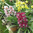 Medicinal plants of Nepal- Orchids