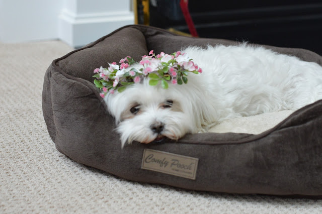 flower-crown-for-dog