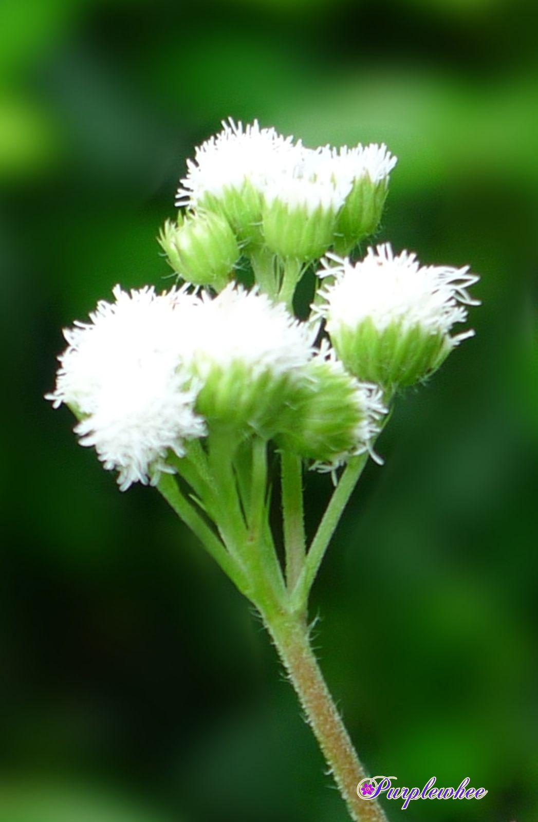 薇薇花園: 白花藿香薊