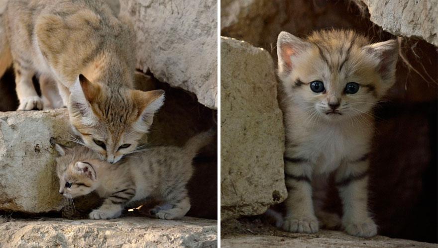 sand-cats-kittens-forever-5