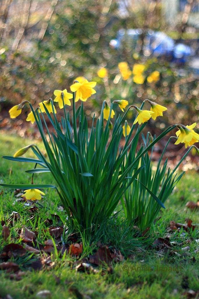 daffodils images