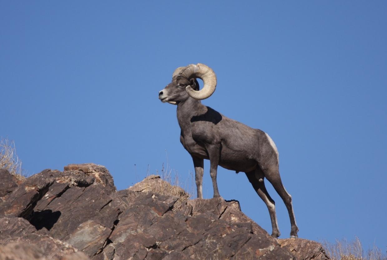 Sierra Nevada Bighorn Sheep By Vanessa Kao