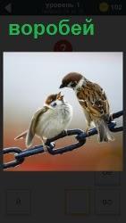два воробья сидит на цепочке и между собой беседуют на своем языке