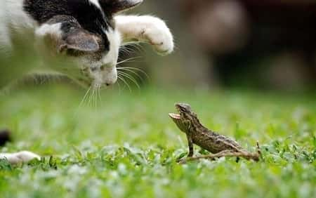 Johor Amazing Stories - Chameleon vs cat scene
