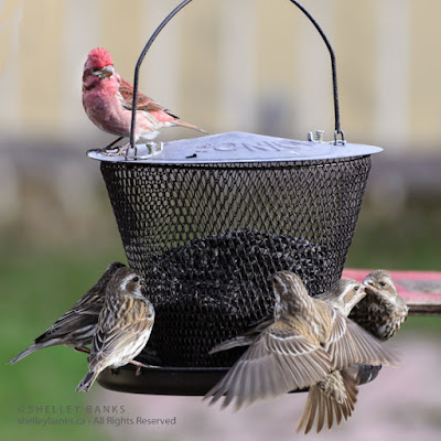 Purple Finches. Copyright © Shelley Banks, all rights reserved