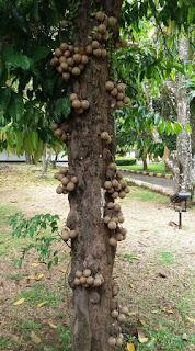 jual bibit kepel,bibit kepel murah,bibit kepel siap tanam,manfaat buah kepel,manfaat daun kepel